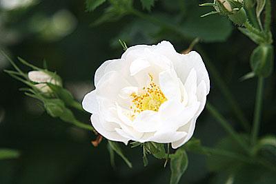 神代rosa-x-alba-suaveolens2