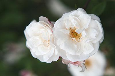 神代rosa-x-ruga