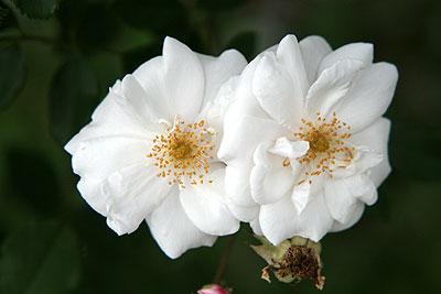 神代rosa-x-ruga2