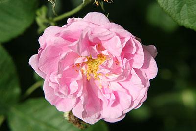 神代rose-de-mai