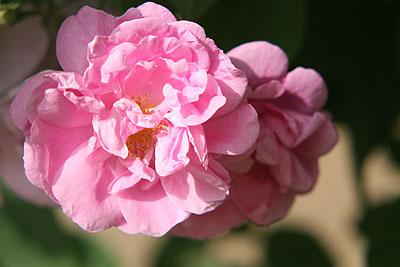 神代rose-de-mai2