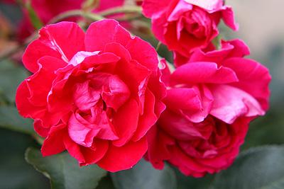 神代r-rugosa-scarlet
