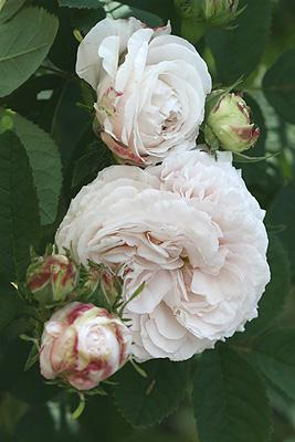 Blanche-fleur2.jpg