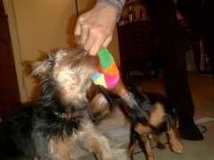 おもちゃ、取り合い~。あれ、ルビーは。