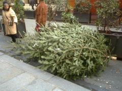 巨大もみの木。余裕で2m以上ある・・・これはちょっとどうなんでしょ。