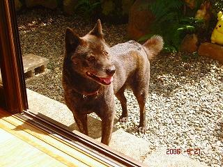 甲斐犬♥菊姫