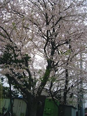 お散歩コースの公園内の桜