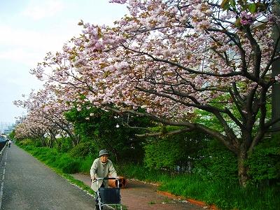 八重桜の下を・・・