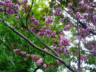 八重桜の花ビラ