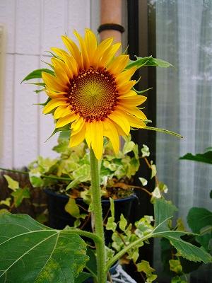 我が家の向日葵
