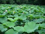 池一面ハス畑