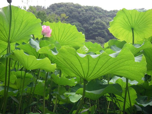 生い茂る蓮池