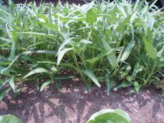 080705野菜2