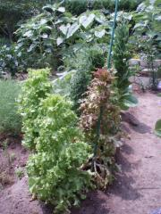 080705野菜3