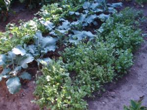 081010香菜、ブロッコリー、カブ