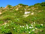 25間山を過ぎて薬師への道端に咲くハクサンイチゲ
