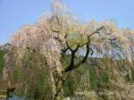 27 奥飛騨で見かけたしだれ桜