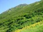 32 黄色い花と水晶岳