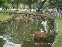 36 鹿の水浴