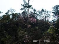 ちらほら咲きが日に映える