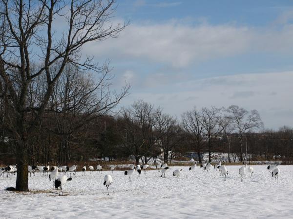 雪も白で鶴も白い