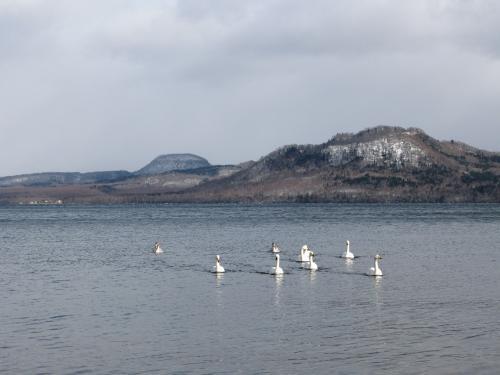 屈斜路湖の白鳥~