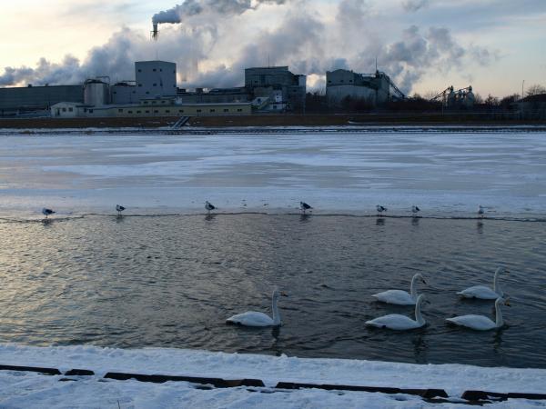 いつもの川と白鳥
