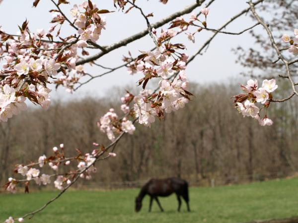 馬と桜。。
