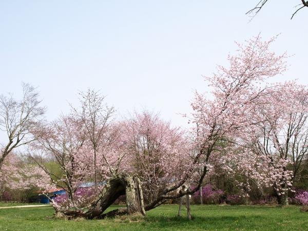 負けない桜