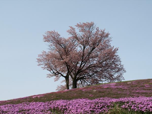 双子の桜。。と呼ばれているそうです。