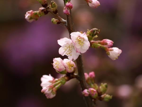 小さいけれど、寒風に負けない桜です