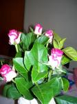 バラ(ピンクの縁取り)