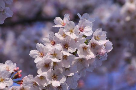マクロレンズの桜