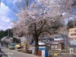 仮設住宅の桜