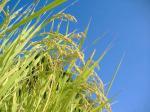 稲刈り前の稲の穂
