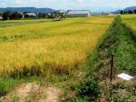 稲刈り時期