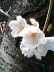 四月八日桜