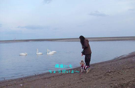 070116-swan2.jpg