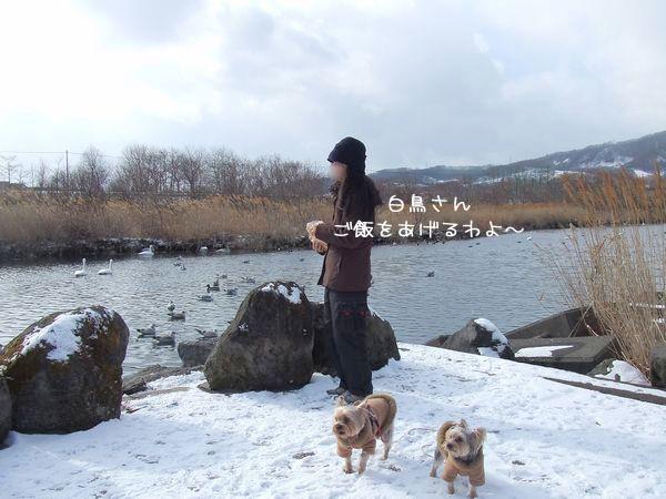 070119-swan1.jpg