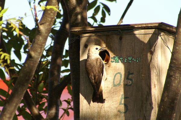 070616-komukudori2.jpg