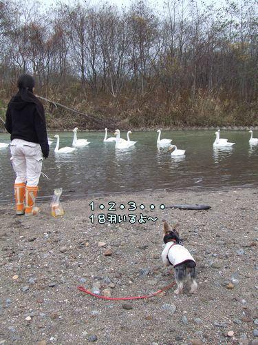 071110-swan1.jpg