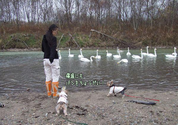 071110-swan2.jpg