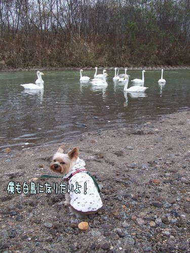 071110-swan3.jpg