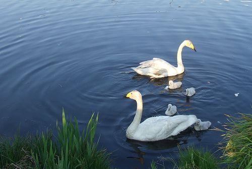 080521-swan1.jpg