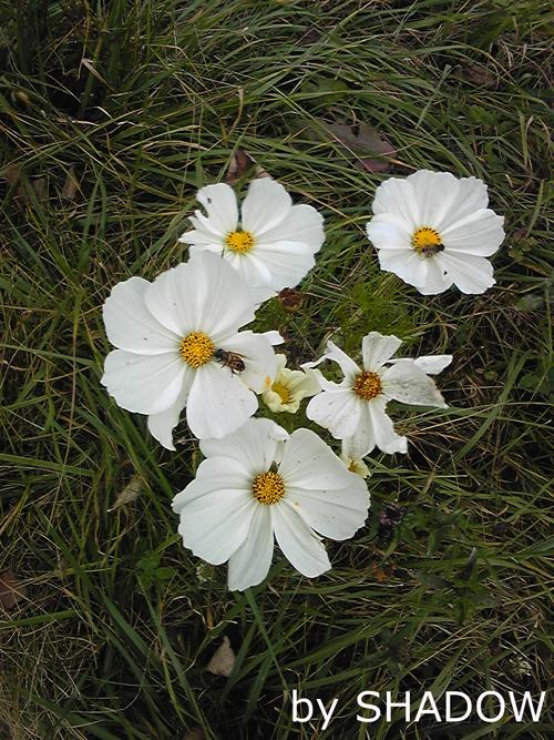ハチがいる白い花