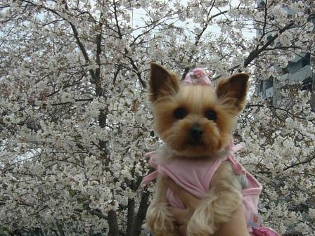 桜とシャロン横