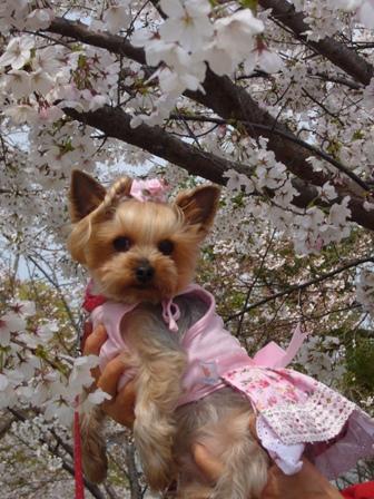 桜とシャロン縦
