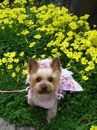 黄色のお花とシャロン
