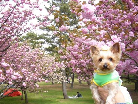八重桜の前で横