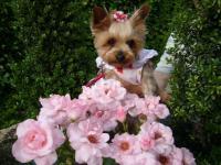 ピンクのバラを前に